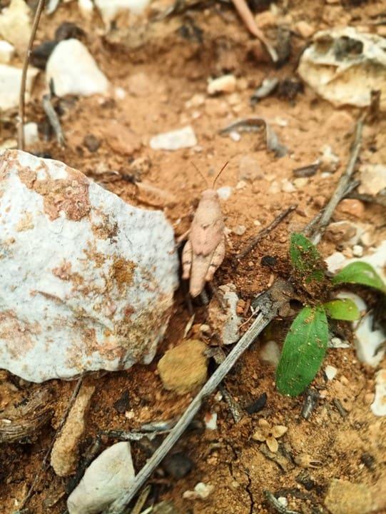 Grillo en el olivar de aceite verde Cañalacueva